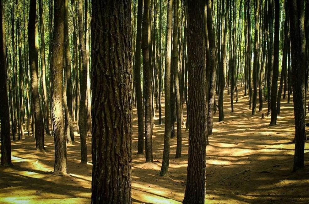 Wisata Alam jogja Hutan Pinus Mangunan Wisata Paling Populer